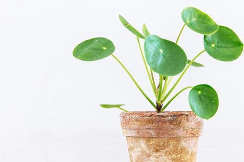 planta china del dinero maceta