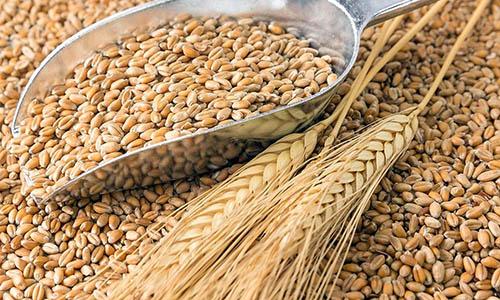 grano de trigo espigas