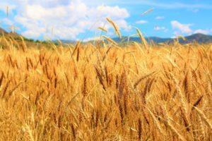 trigo espigas