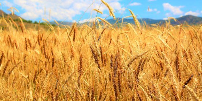El trigo y sus poderes mágicos