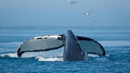 ballena vomito propiedades y curiosidades