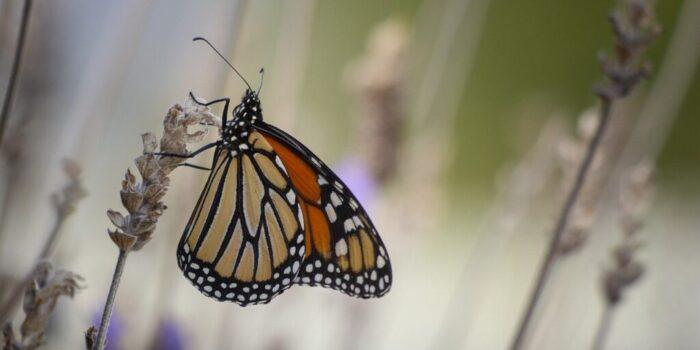 Las mariposas monarcas y el día de los muertos